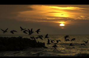 Pelicans at sunset in Cartagena ,Colombia