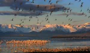 Bird migration, Homer, Alaska